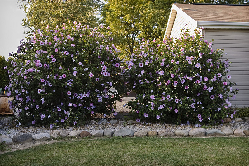 Low maintenance flowering shrub choices networx for Low maintenance flowering bushes