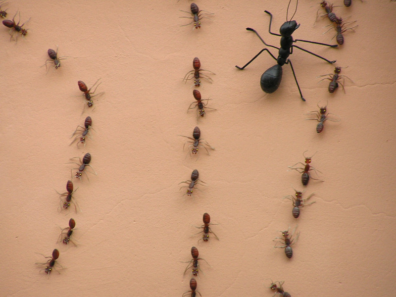Summer Pest Control Ant Types Networx